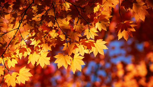 yellow-orange-maple